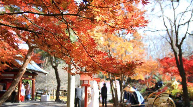 もみじの葉が高い位置から色付き始めました。花婿・花嫁さんが神前式に進む参道の木も秋色に染まっている物も在ります。これから、もみじの葉はますます紅くなり、銀杏の葉が黄金色絨毯を敷き詰めると、冠稲荷神社は秋色となります。