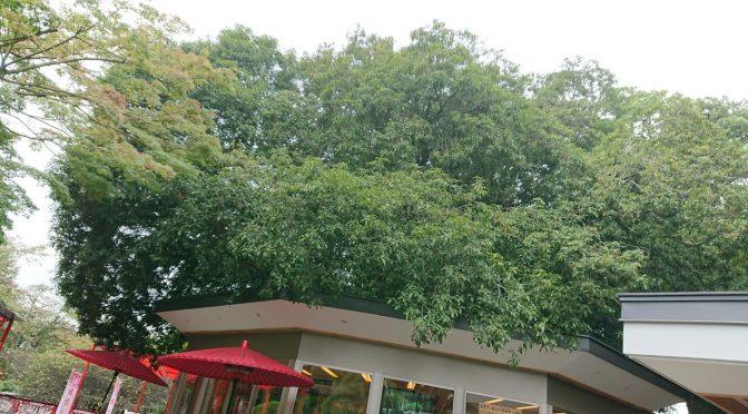 少し暑く感じる日もございますがすっかり秋ですね^^ 境内には金木犀の甘い良い香りがしております。さて、次の日曜日23日は『木瓜の実収穫祭』ですよ!