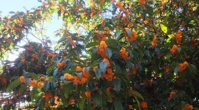 金木犀の花の甘く、清々しい香りが秋風にのって境内に漂っております。お天気に恵まれた本日、昨年の秋に種を撒いて鉢で育てた「木瓜(ボケ)の子」を境内に移植いたしました♪