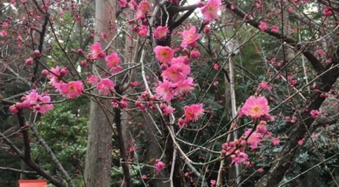 境内の中で春の訪れを感じるととてもウキウキしますね。冬が好きなので複雑な気持ちではありますが・・・春も気持ちがいいものです。晴れやかな気分になるからでしょうか?冠稲荷神社現在の開花状況です(^_^)