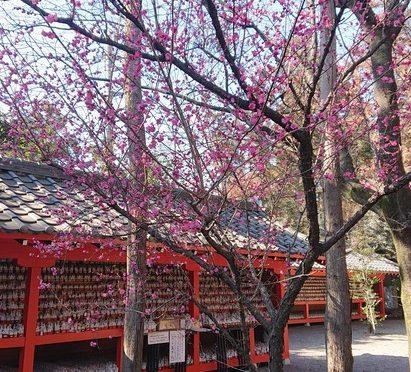 早朝の寒さも少しずつ緩んでまいりましたね。2月ももうすぐ終わります。3月は綺麗な花がたくさん咲き始め、冠稲荷神社もお祭りを行います!今から楽しみです*^^*