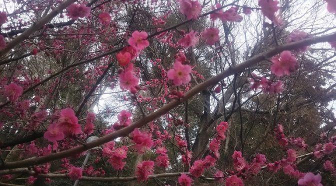 今朝は雨がパラつく時間もございましたが、午後には良いお天気になりました。このまま暖かい日が続いて早く春本番になると嬉しいですネ♪さて、本日も梅や木瓜の開花情報をお届けいたします!