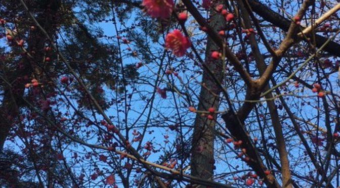 木瓜の蕾も膨らんできました。梅は可愛い花を咲かせております。春の訪れを感じますね。どちらも満開になるときが楽しみです。本日は暖かく気持ちの良い天気でしたね。外祭に随行させて頂きました。