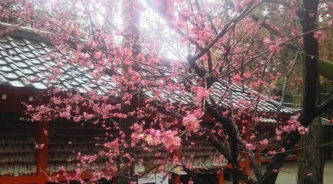 白狐社前の紅梅は少しずつ花が散り始め、地面にはうっすらと紅色の絨毯が地面を覆っております。本日はあいにくの雨天でしたが、遠方より100名様を越える団体ツアーのお客様がご来社くださいました^^