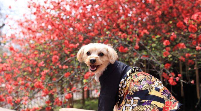 今日は境内の桜の様子と、七五三のお祝いに来てくれたわんちゃんのお話しをしたいと思います*^^*春満開の冠稲荷神社とティアラグリーンパレスに皆様ぜひお花見に来てください♪