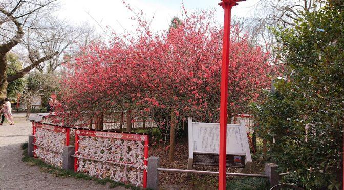 桜の開花宣言がされましたね!今日の境内は風が強くて、木々が揺れておりましたが、本日も木瓜は綺麗に咲いておりました^^