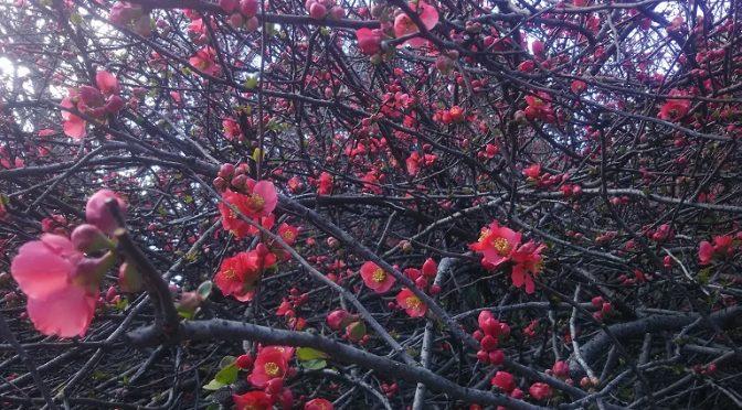 本日も朝から良く晴れて気持ちの良い一日でした♪境内の木瓜の花は一分咲きくらい。3月17日の初午大祭から3月下旬、4月上旬にかけて見頃となりそうです^^そして、本日お伺いしたN様邸の地鎮祭についてもご紹介いたします!