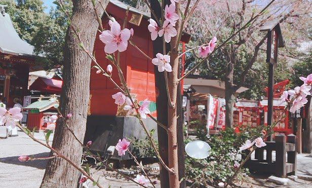 今日も境内はお花見のご参拝者でたいへん賑わっておりました。また、上毛新聞にも冠稲荷神社のライトアップの写真が掲載されました!!
