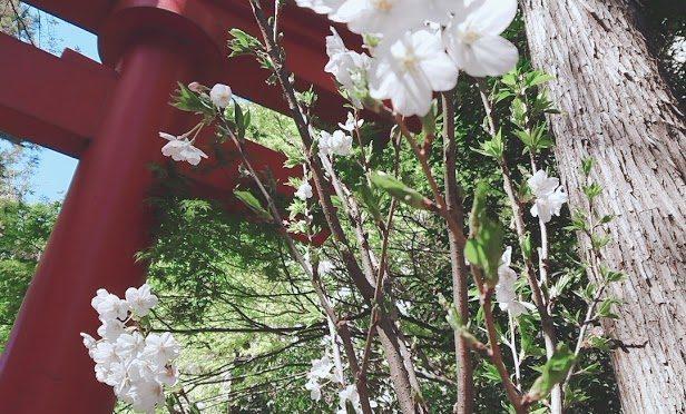 4月も気付けばもう半月過ぎました。時が過ぎるのは早いですね。境内の木瓜もすっかり赤い花が少なくなりましたが、今年の桜は花が残っている木が多いので、平成最後の桜としてとても立派に咲いております*^^*