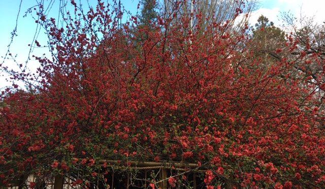 本日、己巳【つちのと・み】の日です。60日に一度の弁財天様の縁日です。弁財天様をお祀りしている厳島社の近くの枝垂れ桜も見頃になっております。大鳥居の桜や、木瓜以外にも植栽された桜や桃の花も開花してきて、一つ一つの花の形、大きさなど見て頂くとより花を楽しめるかと思います。