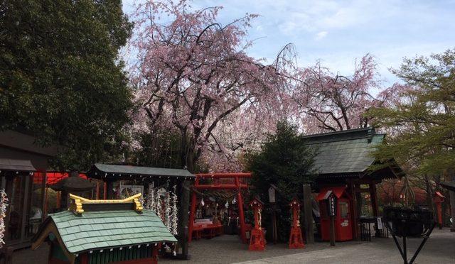 桜が少し落ち着いた色合いになってまいりました。しかし、枝垂れ桜や陽のあたる場所によってはこれからが見ごろになる花もあります。また花の咲き方、枝のつき方、形なども様々です。ご自身の気に入った木を探し、名前を付けてみるのもいいかもしれませんね。