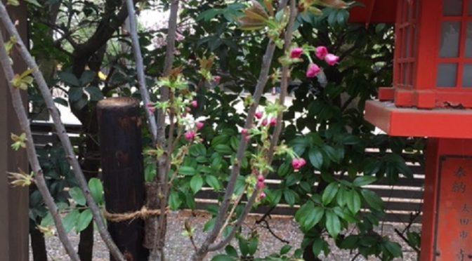 大鳥居の桜は葉桜となりましたが、境内の中の他の桜はまだまだ綺麗な姿を見せてくれております。また、八重桜は蕾が膨らんできて、これから花開くようですね。どのような姿を見せてくれるのか楽しみです。