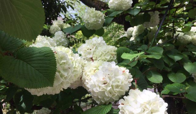 真ん丸としたオオデマリの花がとてもかわいらしいです。紫陽花に似ているので朝の雨の風景にもとてもよくあっていました。境内にはいろいろな花が咲いているので、写真選びに毎回時間がかかります(笑)