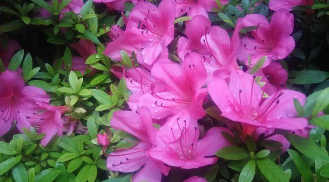 昨晩に降った雨のおかげで久しぶりに涼しい朝を迎えられました^^社務所の隣では色鮮やかなツツジがしっとりと「鳳凰の松」を彩っていました。さて、本日は当社の大塚祐康宮司が宮司を本・兼務する地域の神社の総代さんにお集まりいただき、年に一度の太田敬神総代会を開催いたしました!