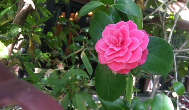 朝のお掃除中にとても綺麗な花を見つけました!このような綺麗な境内を楽しめる大前神前結婚式が始まる前の『参進の儀』についてご紹介いたします。