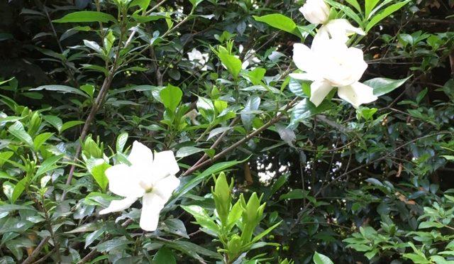 本日は、汗ばむ陽気ですね。昨日は戌の日で境内は少々混雑しましたが、今日は結構静かです。久しぶりに境内の花の様子をご案内致します。