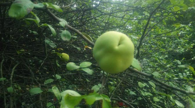 先日のことですが、ご参拝者様より「木瓜の実の収穫祭の日程は早まりそうですか?」というご質問をいただきました。例年よりも早く実が大きくなっている木瓜をご覧いただいて、そのように思われたそうです^^令和元年の「木瓜の実収穫祭」はWebサイトでご案内しておりますように、9月22日(日)開催予定です。収穫祭では木瓜の豊かな実りに感謝し、縁結び、子宝、安産、子育てと健康諸願成就 を祈願する特別祈祷を執行いたします。