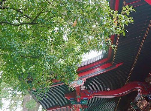 今日の神社は曇り空から始まりました。金木犀の花はまだ見ることができませんが、開花までじっくり待っております!今日は昨日ご紹介できなかった七五三のご家族をご紹介いたします♪