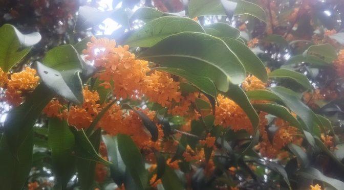 晩から降り続いた雨でせっかく開いたお花が散ってしまったのでは…と、心配していた金木犀ですが、本日も元気に咲いていました!さて、本日は神社婚(大前神前結婚式)のお話しをさせていただきます♪