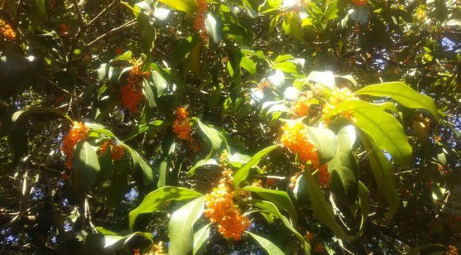 境内では数日前から散り始めた金木犀の花が足元をオレンジ色に染めました♪聖天宮前のモミジの紅葉も進み、ここ数日の間でしたらちょうど向かいの金木犀とあわせて美しい色合いをお楽しみいただけそうです^^