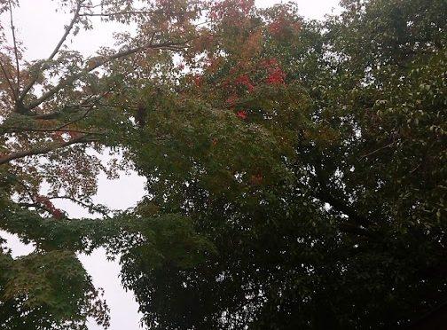 朝から曇り空のお天気、夕方には境内に雨が降りました。冷たい雨に境内の木々は濡れておりますが、鮮やかな紅葉が少しずつ始まっているようです!