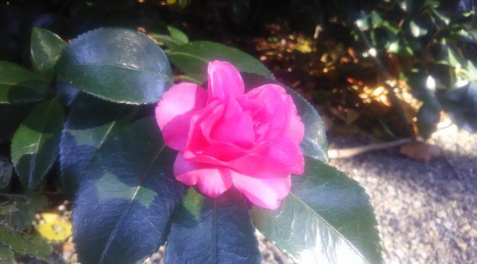 参道の山茶花が咲き始めました!まだ数輪ほどですが、早朝の冷んやりした境内に鮮やかなピンク色がとても良く映えていました♪さて、連日ブログにてお知らせしておりますが只今、冠稲荷神社では年末年始の助勤さん(アルバイトさん)を大募集中です!実際にどんなお手伝いをお願いしているのか、いくつかご紹介させていただきます^^
