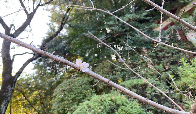 11月に入って最初の土曜日、本日も境内は七五三のお参りの方や御朱印をお求めの方で賑わいました。境内では、春に咲く「あの花」がひっそりと咲いております。