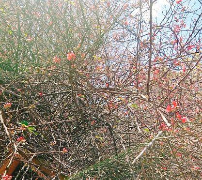 境内の木瓜は着々と開花を進めておりますが、さくらや桃はまだまだ蕾のままです。早くピンクの可愛らしい花を見せて欲しい今日この頃です♪