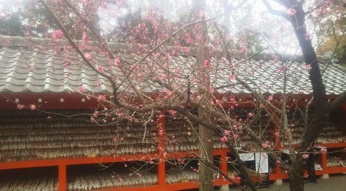 昨日から続く暖かさで紅梅の開花が進みました♪ちょうど半分の5分咲きくらいです。毎日、沢山のお客様がご参拝くださる冠稲荷神社は四季折々の自然に囲まれた宮の森にございます。どなた様もどうぞお気軽にご来社ください(^^)