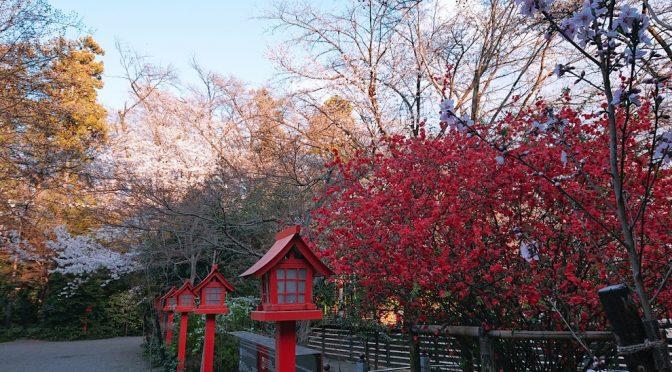 今日も神社のボケや桜は綺麗に咲きました!夜桜もオススメです♪