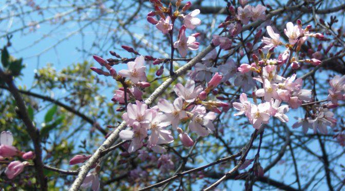 境内を彩る春の花々♪そして、本日3月17日はお彼岸の入りです。