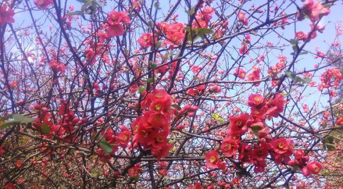 木瓜の花は現在、3~4分咲きですが、もう充分に華やかです♪やはり昨年よりも早く、今月の中旬頃には満開を迎えそうです。また、聖天宮の横では一足先に馬酔木(あせび)の花が満開になりました。これから暖かくなるにつれてソメイヨシノや八重桜、桃の花も次々と開花を始めますので、境内は一段と彩り豊かになりますネ♪