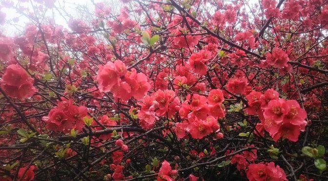 満開の木瓜の花♪本格的な春が訪れる4月には毎週のように神社婚が執り行われます。