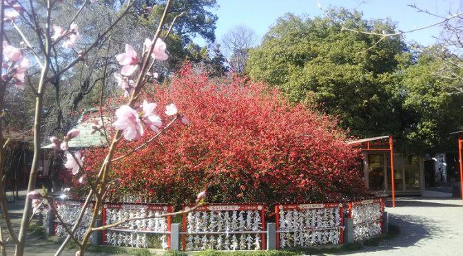 春うらら♪冠稲荷神社の初午大祭、いよいよ明後日に迫りました!