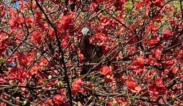 木瓜だけではなく、桃や桜の蕾も膨らんできました。鳥さんも毎日のように遊びに来てくれます。