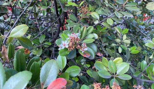 絵馬掛け近くに咲く植物は花の形が梅に似ていて、葉が車輪状につくことから「車輪梅(シャリンバイ)」というそうですが、栴檀(センダン)と並び、珍しい名前だと思います。