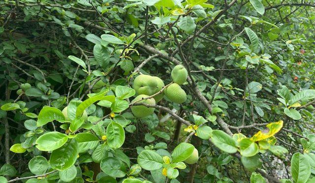 晴れたり雨が降ったりと変わりやすい天候ではございますが、木瓜の実が大きく成長しておりました。