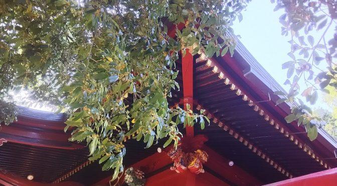 金木犀が一気に開花しました!境内に甘酸っぱい、爽やかな香りが漂っています♪