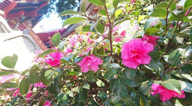 本日は二十四節気の「大雪」です。冬の花でもある山茶花も綺麗に咲いています。
