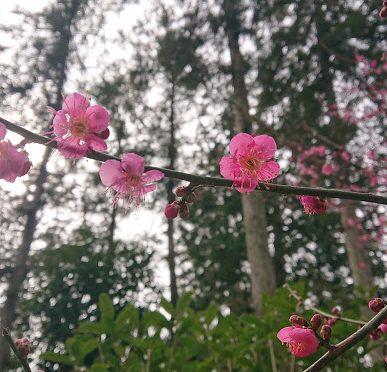 空は灰色ですが、境内は色鮮やかな梅が咲いています♫
