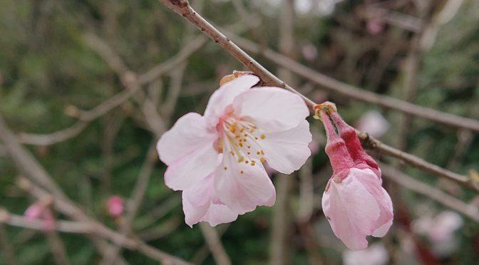 昨日の雨も上がり、少し寒い境内でしたが、ヒガンザクラは綺麗に咲き始めました。