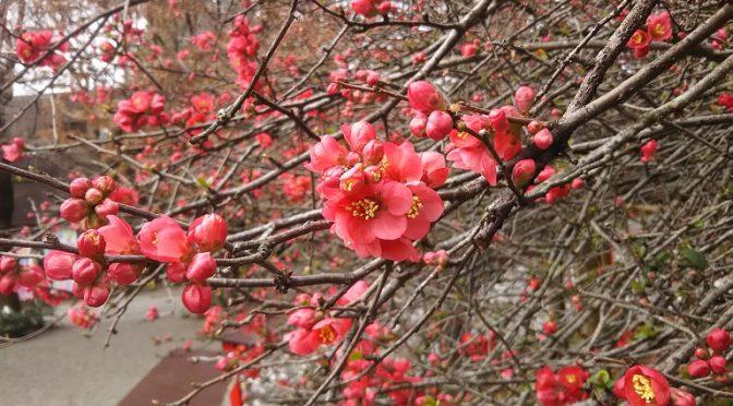 木瓜は只今、三分咲き♪3月21日の初午大祭では見頃を迎えそうです(^^)