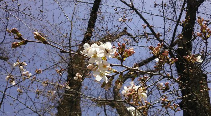 本日はお彼岸の入り、干支は甲子。ここにソメイヨシノの開花を宣言いたします♪