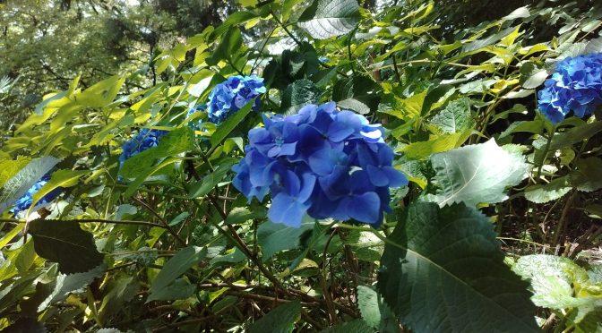 境内の紫陽花を込めて奉製した「縁守」をお授けしております♪