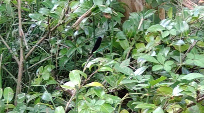境内で見つけた虫のご紹介パート2です!ついに黒いトンボを発見することができました・・・